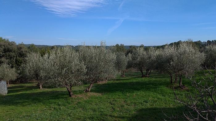 Vue des oliviers st clement de riviere Puech
